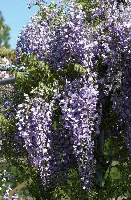 Wisteria Photos