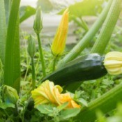 A zucchini plant in the garden with flower and a young zucchini squash.