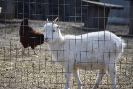 Deloris (La Mancha Saanen Cross- Goat) - white goat in pen