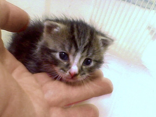A very small kitten with a white stripe on its forehead.