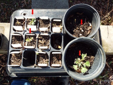 A garden tray of seedlings.