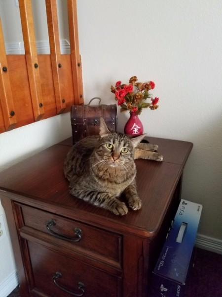 Jonesy (American Short Hair Tabby) tan and black tabby on small table