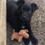 What Breed Is My Puppy? - black puppy with toy