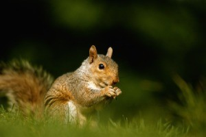 A squirrel on grass outside.