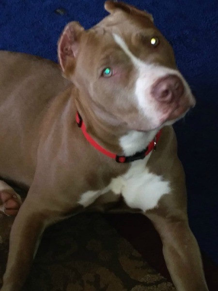 What Type of Pit Bull Is My Dog?
