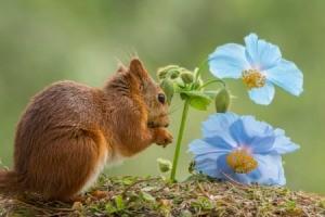 A squirrel next to a blue flower.