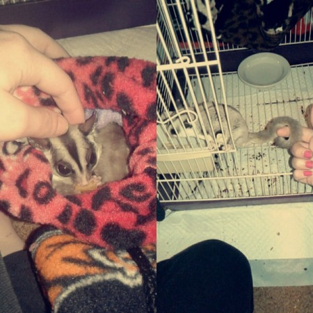 Sugar Gliders - side by side photos of gliders
