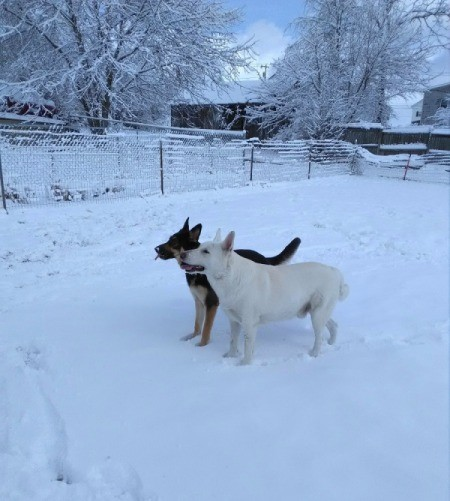 Tiger and Abbie (German Shepherd)