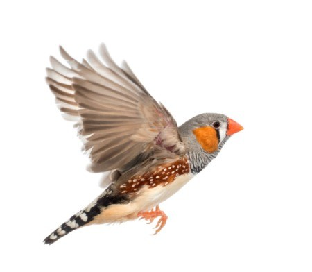 Flying Zebra Finch