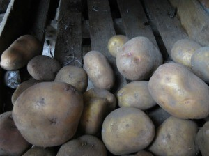 Potatoes stored in bins for spring planting.