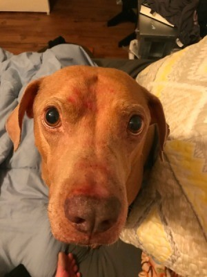 Ex-bait Dog Attacked My Other Dog - brown dog with blankets