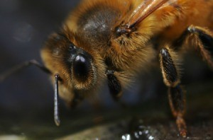 A close up of a bee.