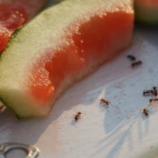 Several ants around watermelon rinds.