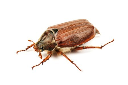 Brown Flying Insect