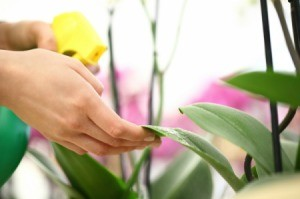 Spraying a houseplant with gnats.