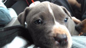 Is My Pit Bull Full Blooded? - black and white puppy