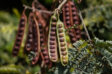 The pods of a locust tree.