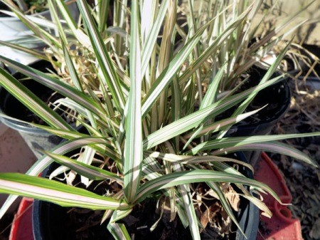 Gardening By Trial And Error - canary grass