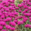 A field of magenta bee balm flowers in bloom.