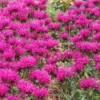 A field of magenta bee balm flowers in bloom.