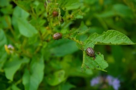 Several beetles eating the leaves of a potato plants.