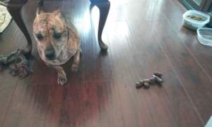 House Trained Dog Pooping Inside - dog under chair near a pile of poop