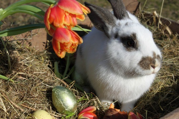 Keeping Rabbits Out Of Tulips Thriftyfun