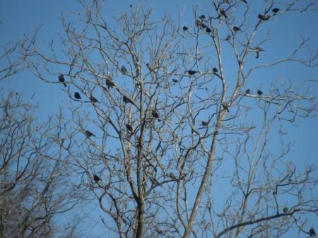 Cowbirds - in a winter tree