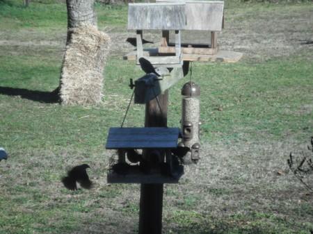 Cowbirds - on feeder