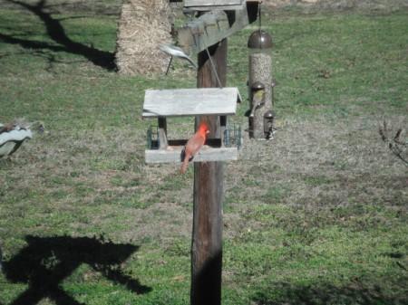 Cowbirds - cardinal on feeder