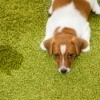 A dog next to an accident on the carpet.