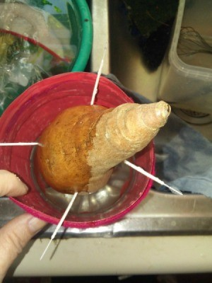 Plastic Wrapped Sweet Potato Grew Roots