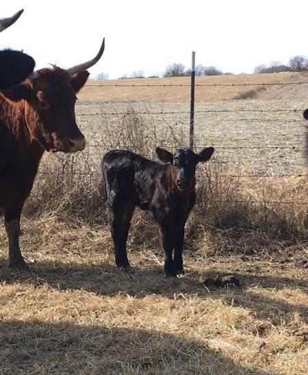Loretta (Angus/Shorthorn Mix) - Loretta and mom