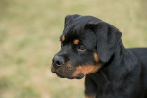 Photo of a Rottweiler.