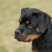 Photo of a Rottweiler.