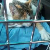 Lilly (Kitten) Rides in a Car - calico cat in small crate