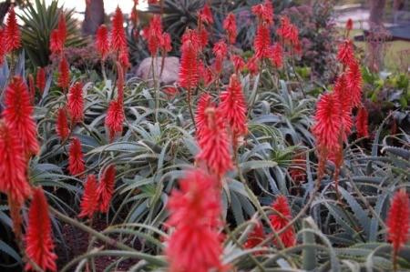 Red flowers at Laguna Beach.