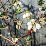 Blueberry ~ An Early Variety - blooming blueberry bush