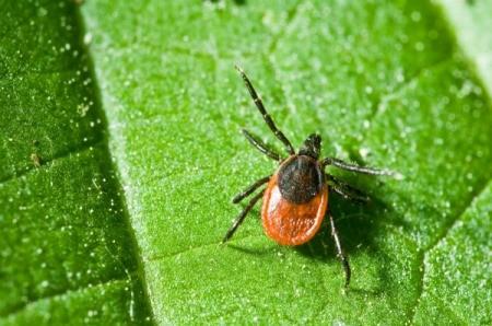 An adult tick on a leaf.
