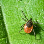 An adult tick on a leaf.