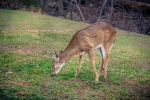 A deer in the backyard.