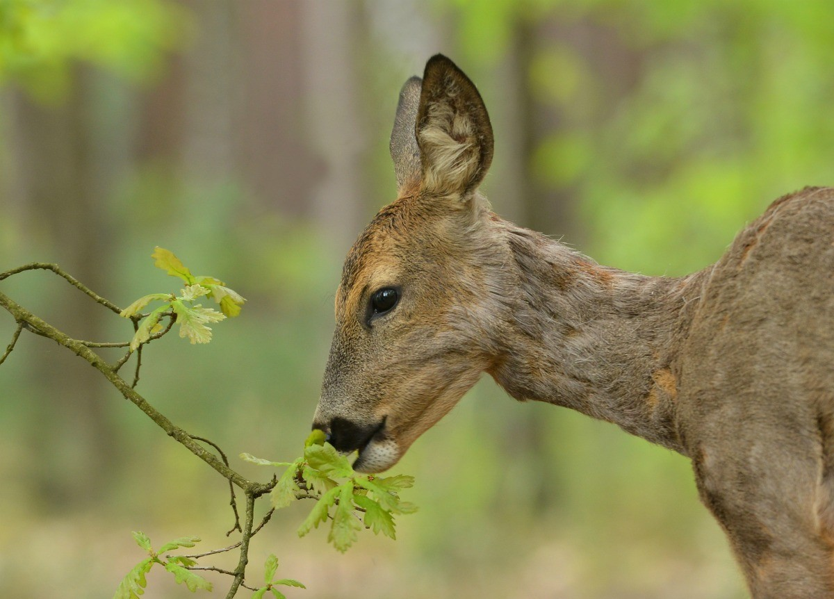 Egg Deer Repellant Recipe Thriftyfun