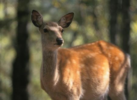 An alert deer.