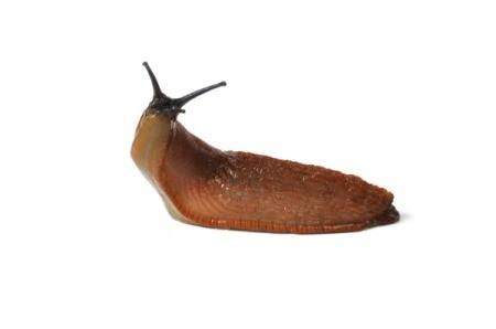 large slug