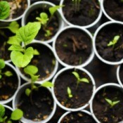 Seedlings growing in small containers.
