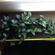 What Is This Houseplant? - tall supported plant with dark green leaves