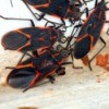 A swarm of black and red box elder bugs.