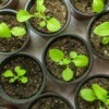 Seedlings in small pots, ready for planting.
