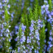 A rosemary plant in bloom.