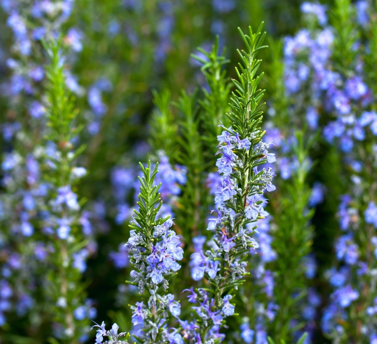 How To Care For A Rosemary Tree Thriftyfun